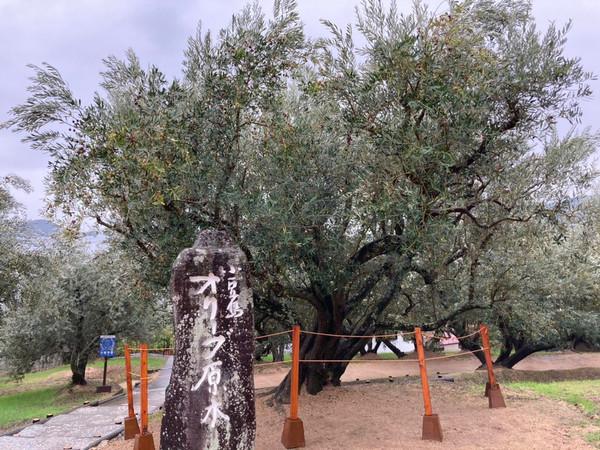 日本最古のオリーブ原木