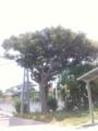 大樹 in my garden