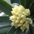 [ジンチョウゲ]ジンチョウゲ開花(2010/02/05)