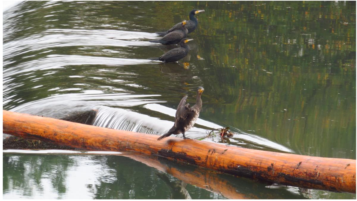 流木に乗る鳥②