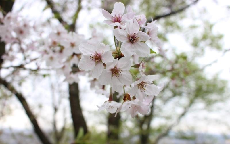 吾妻山の桜