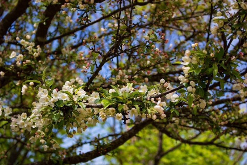 ヒメカイドウの花