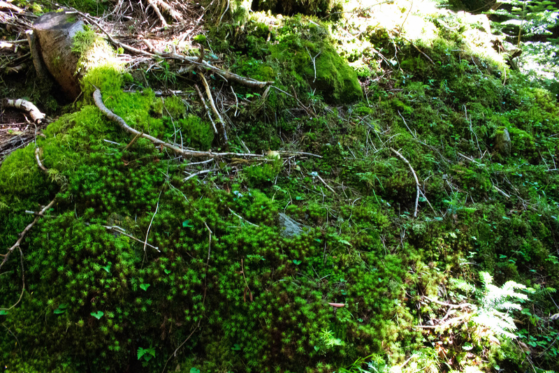 地面を覆う苔