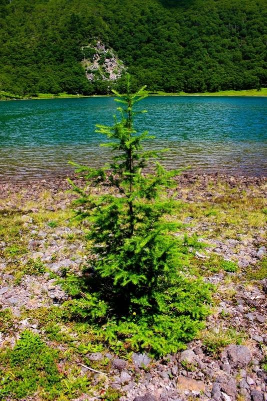 水辺に生える木