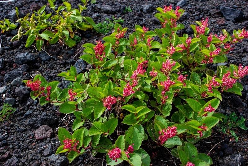 ベニバナイチヤクソウらしき植物