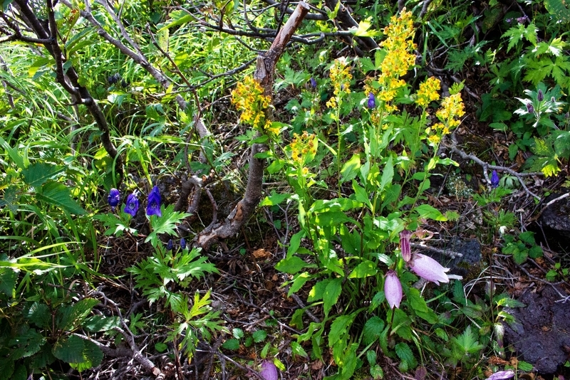高山の花々