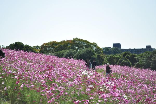 花の丘 コスモス畑