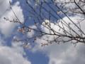 事務所の桜1