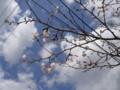 事務所の桜2