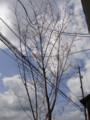 事務所の桜3