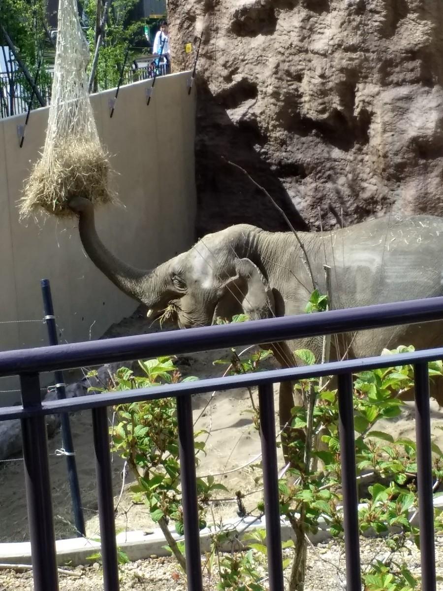 干し草を食べているメスのアジアゾウ