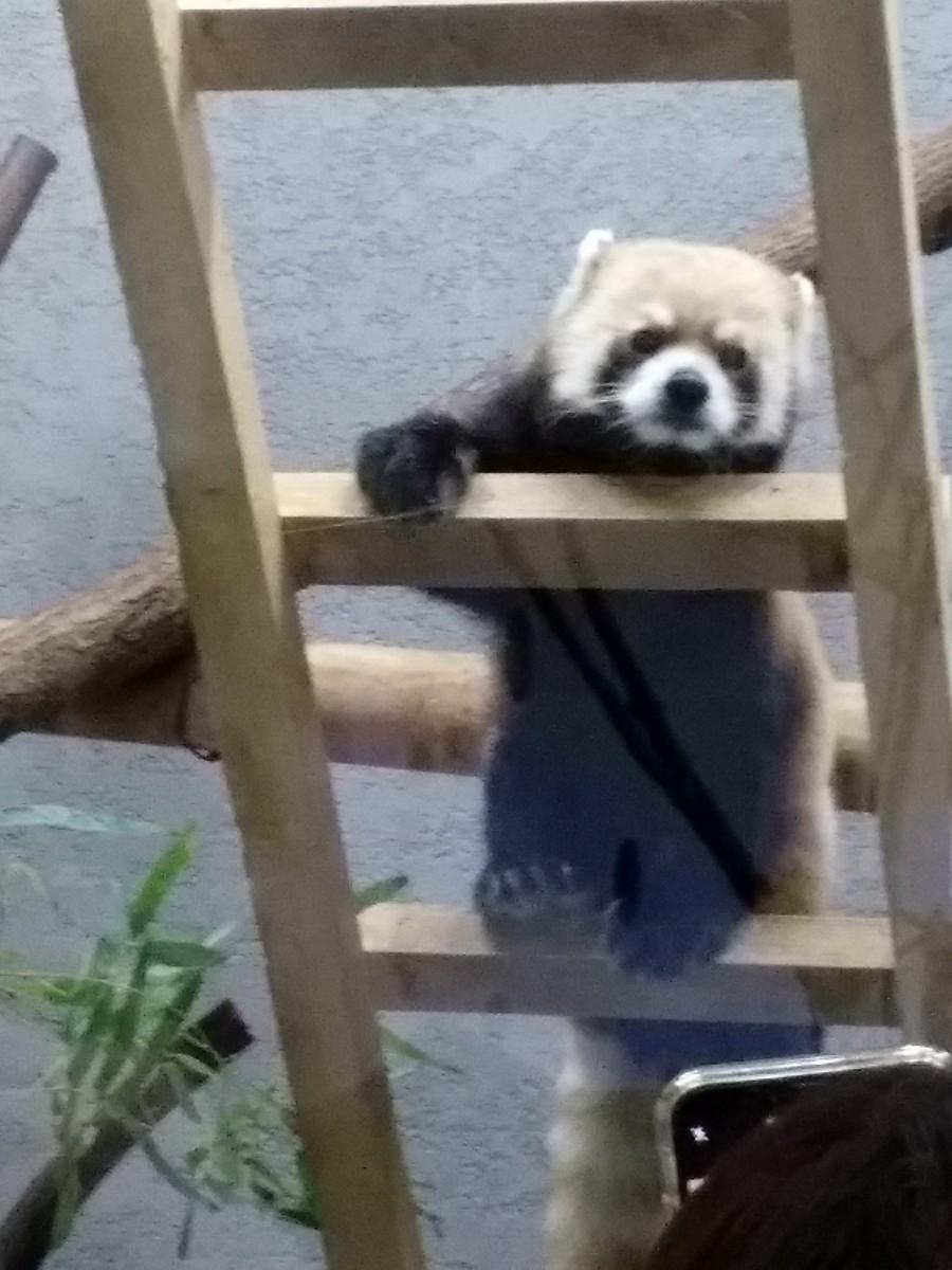 梯子をのぼるレッサーパンダ。正面を向いてくれました。