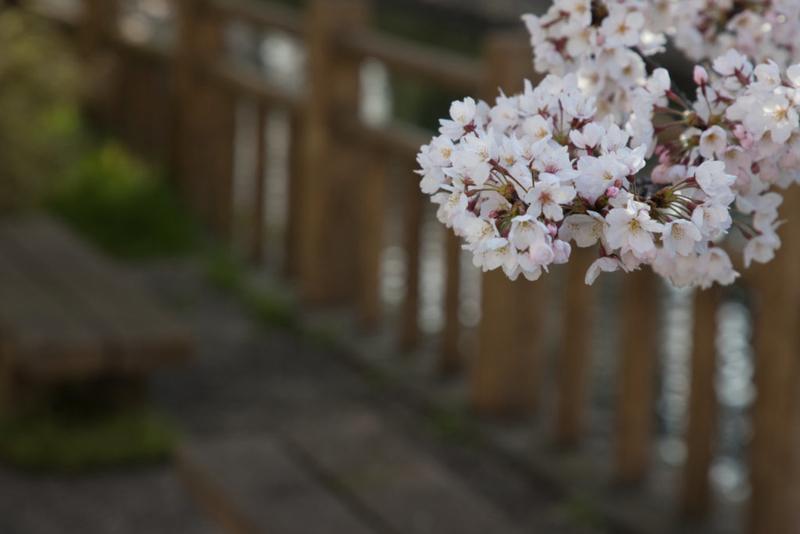 松川桜撮って出し