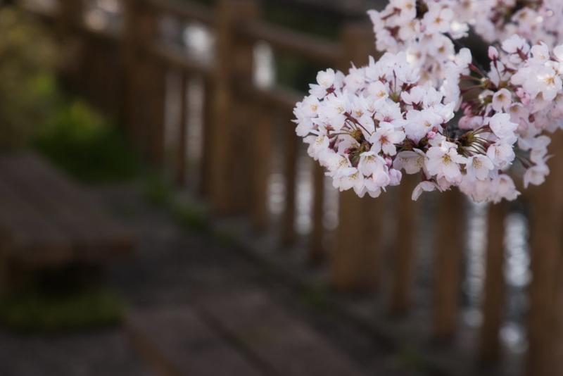 松川桜現像後