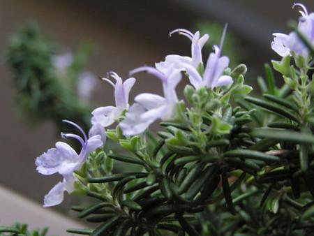 ローズマリーの花(うわ、文字制限あるのか)