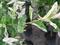 イヌコリヤナギのハクロニシキ