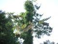 近づいてみると杉に蔓性の樹木がからんでいることがわかる。
