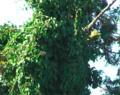 蔓性の樹木。横から飛び出してる杉の葉と形が違う。