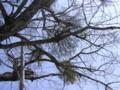 [榛名湖]湖畔の木に宿り木