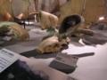 [富岡]群馬県立自然史博物館:オルドスメントウゴウオオツノシカ