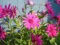[植物][花]サイネリアのセネッティ