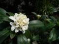 [植物][花]白いジンチョウゲ