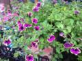 [花][植物]緑色のふちどりの不思議な花
