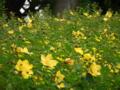 [花][植物]キンシバイ