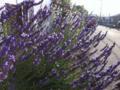 [花][植物]花写真/ラベンダー