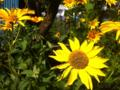 [植物][花]キク科の、なに?