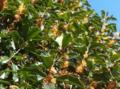 [花][植物]キンモクセイ