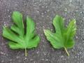 [植物]桑のうどん粉病