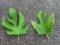 桑のうどん粉病