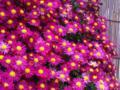 [花][植物]キク