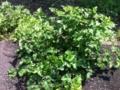 [養蚕][植物]こんなしみったれた桑を這いつくばって摘み取るも、下半分はうどん粉