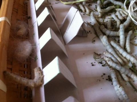 せっかく足場を作っても関係ないところで繭を作るお蚕たち。