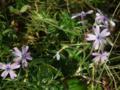 [花][植物]シバザクラ