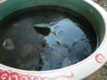 スイレン鉢に氷が張りました(今朝)。
