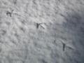 [いきもの][鳥]なんらかの足跡