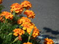 [花][植物]マリーゴールド