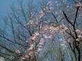 [花][植物]水元公園しだれざくら