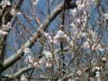 [花][植物]水元公園マメザクラ