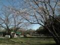 [花][植物]水元公園・バーベキュー場、ソメイヨシノ