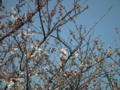[花][植物]水元公園、ソメイヨシノ