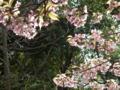 [花][植物]水元公園圃場・早咲きの桜