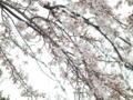[花][植物]水元香取神社