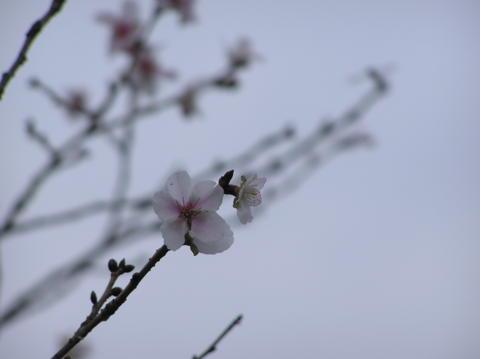 鬼石の冬桜