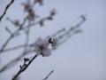 [花][植物]鬼石の冬桜