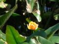 [花][植物]水元公園にて、コウホネの花