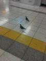 池袋駅構内を闊歩するドバトたち